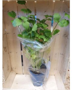 Pot aromatique: Coriandre