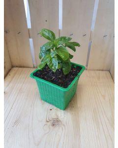 Plant: Basilic
