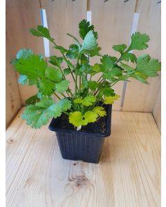 Plant : Coriandre Aromatique