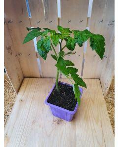 Plant: Tomate cerise