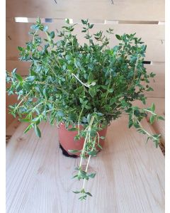Pot aromatique : Thym